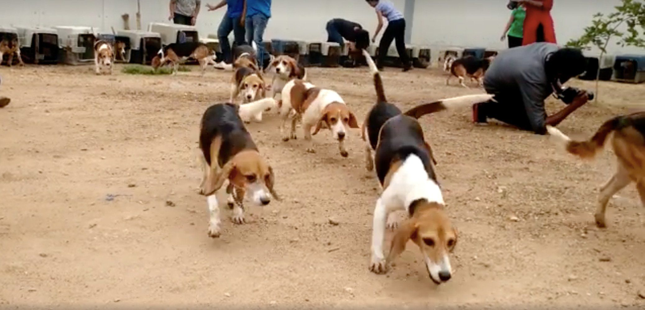 Finally Released From Laboratories 42 Beagles Step Into Freedom