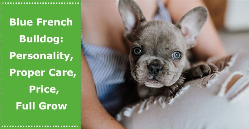 Blue French Bulldog Why Blue Proper Care Price Full Grow And