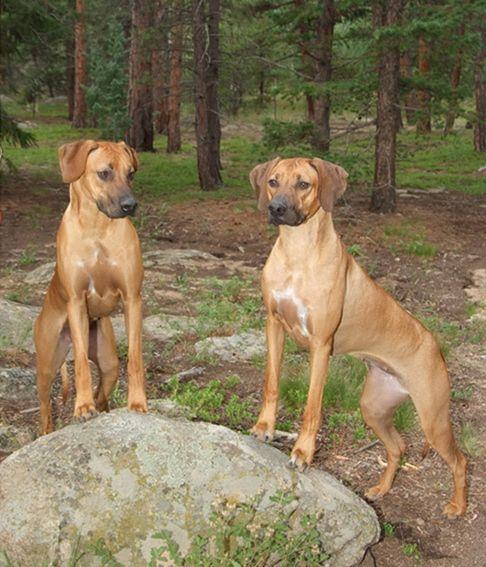 Colorado Rhodesian Ridgeback Club Rhodesian Ridgeback Dog