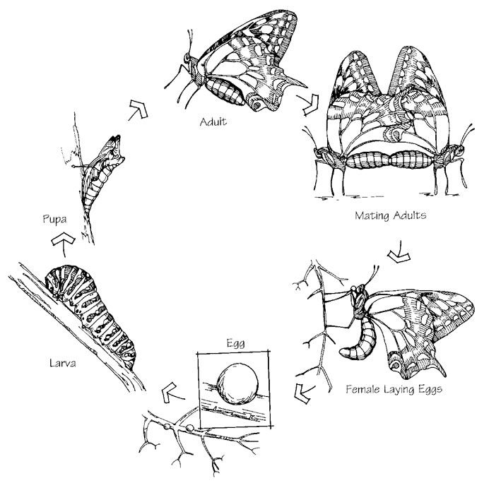 Life-cycle Of Anise Swallowtail Butterfly