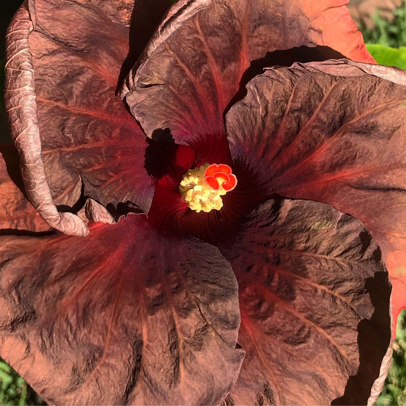 Luks dark inferno hibiscus hibiscus pinterest hibiscus and flowers luks dark inferno hibiscus izmirmasajfo Gallery