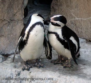 Penguins mate for life <3 Aw