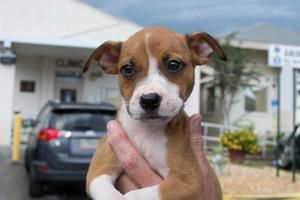 Adopt Delilah On Boxer Mix Puppies Pitbull Terrier Bull