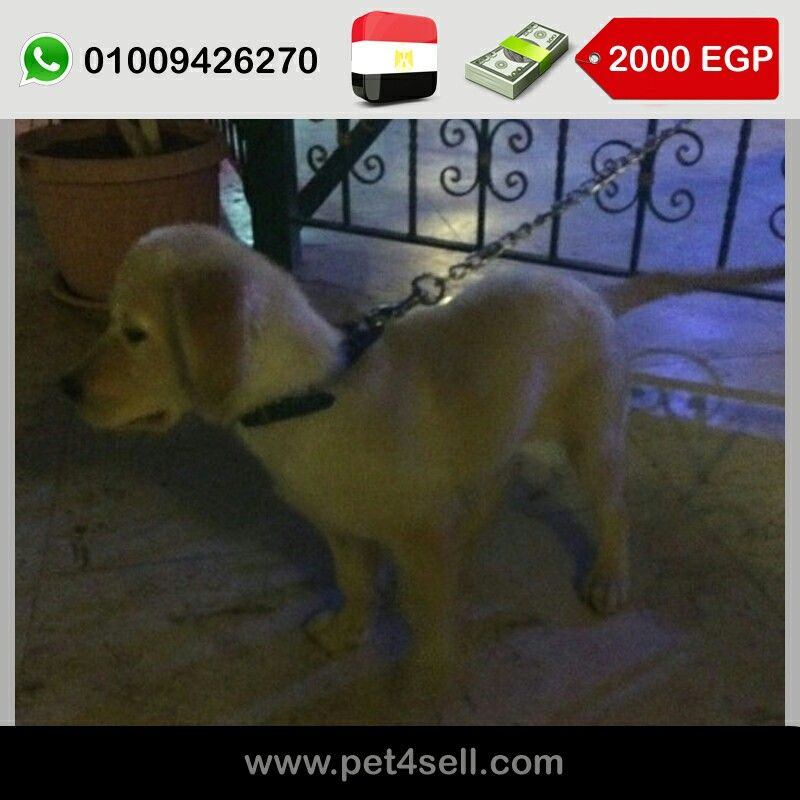 Egypt Cairo Pure Golden Retriever Puppies Very Pure Breed One