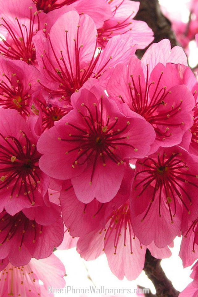 Sakura Flowers Hd Iphone And Android Hd Wallpaper Background And