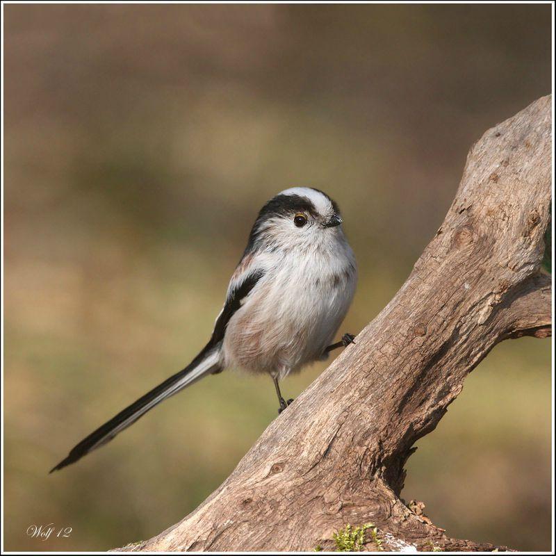 Mesange longue queue oiseaux de mon jardin pinterest for Oiseaux des jardins belgique