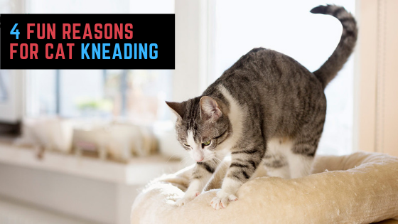 Why Do Cats Knead Reasons Disclosed Cats, Cats knead