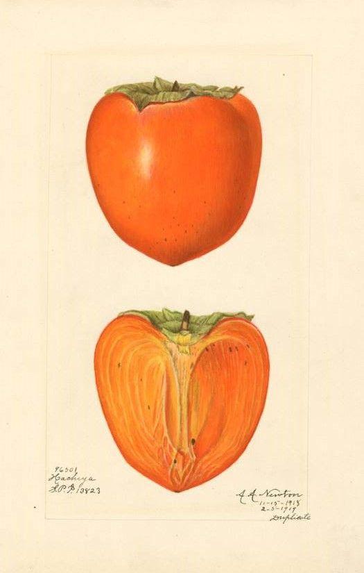 anatomy of a persimmon | Illustration botanique | Pinterest ...