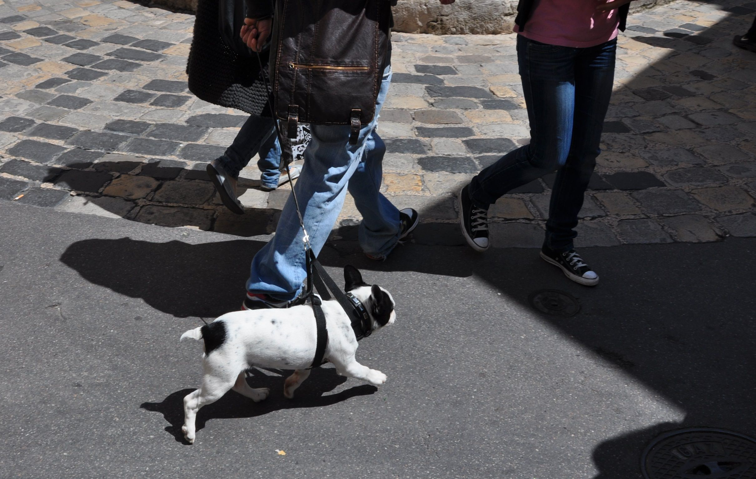 Is this a French bulldog?
