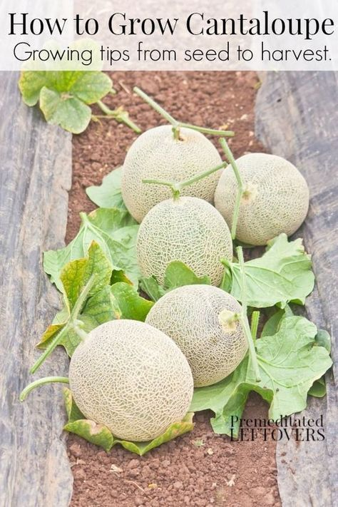 How to Grow Cantaloupe - Tips for growing cantaloupe, including how to plant cantaloupe seeds and cantaloupe seedlings, and how to harvest cantaloupe. #gardeningtips