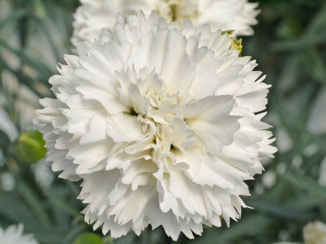 Dianthus Memories Late Summer Flowers Perfect Plants Bulb Flowers