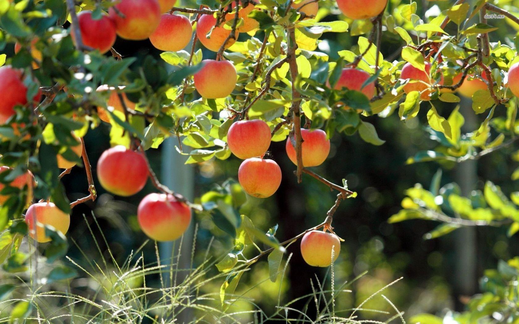 desktop picture of an apple tree wallpaper