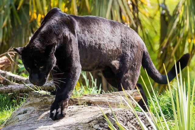 Black Jaguar Panthere And Co Pinterest Black Jaguar And Chester