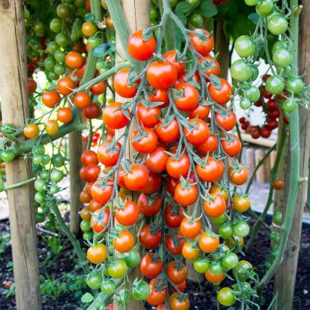 Tomato Garden Seeds - Supersweet 100 Hybrid - 100 Seeds - Non-GMO, Vegetable Gardening Seed - Super Sweet #anbauvongemüse