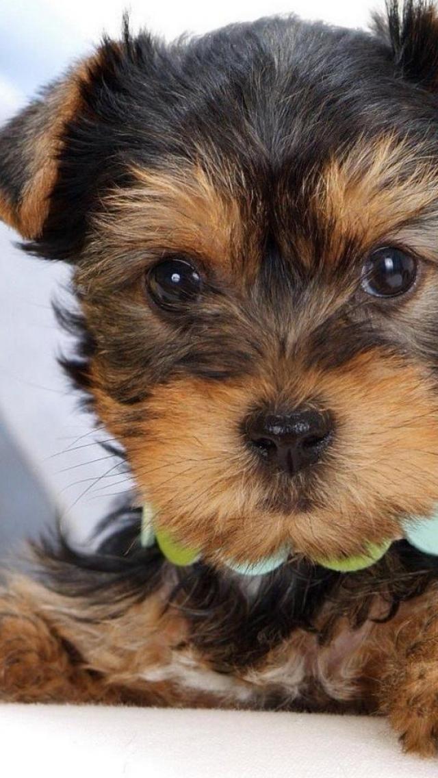 Cute Yorkshire Terrier Dog Animal Yorkie Yorkshire Terrier Dog Cute Dogs