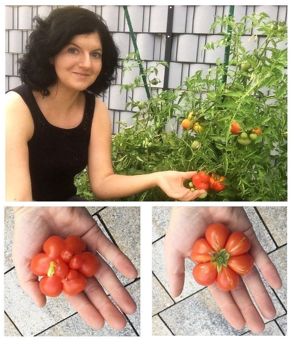 Endlich wird die Arbeit im Garten mit frischen und knackigen Tomaten belohnt! Einige sehen sogar aus wie Blumen! 🍅😍
