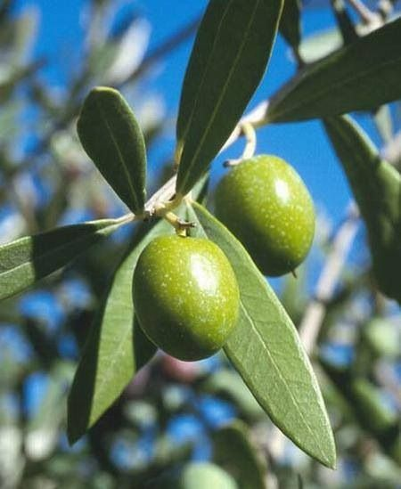 زيتون بلادي Olive Leaf Tea Olive Olive Leaf