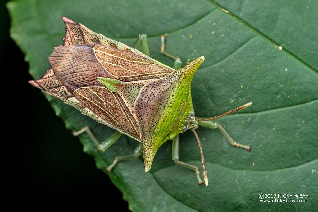 Giant Shield Bug Pygoplatys Sp Dsc 7429