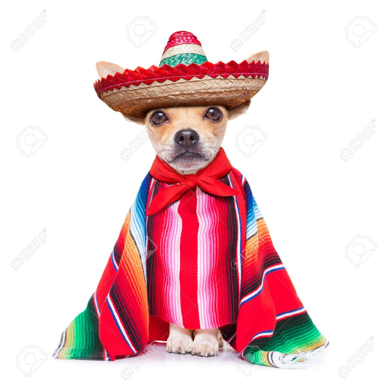 chihuahua dog wearing a sombrero hat and red poncho | Animalitos ...