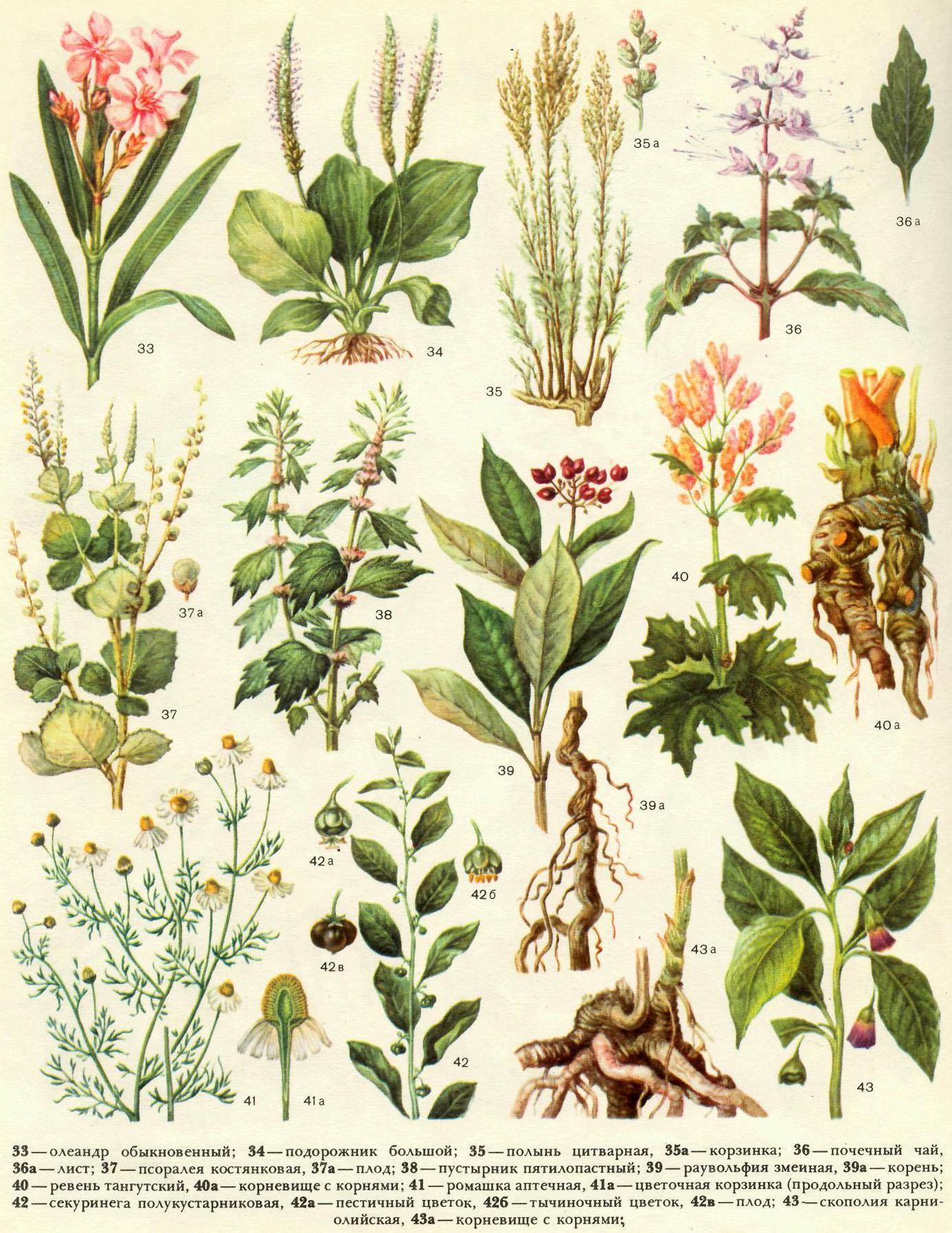 картинки сорных растений с названиями