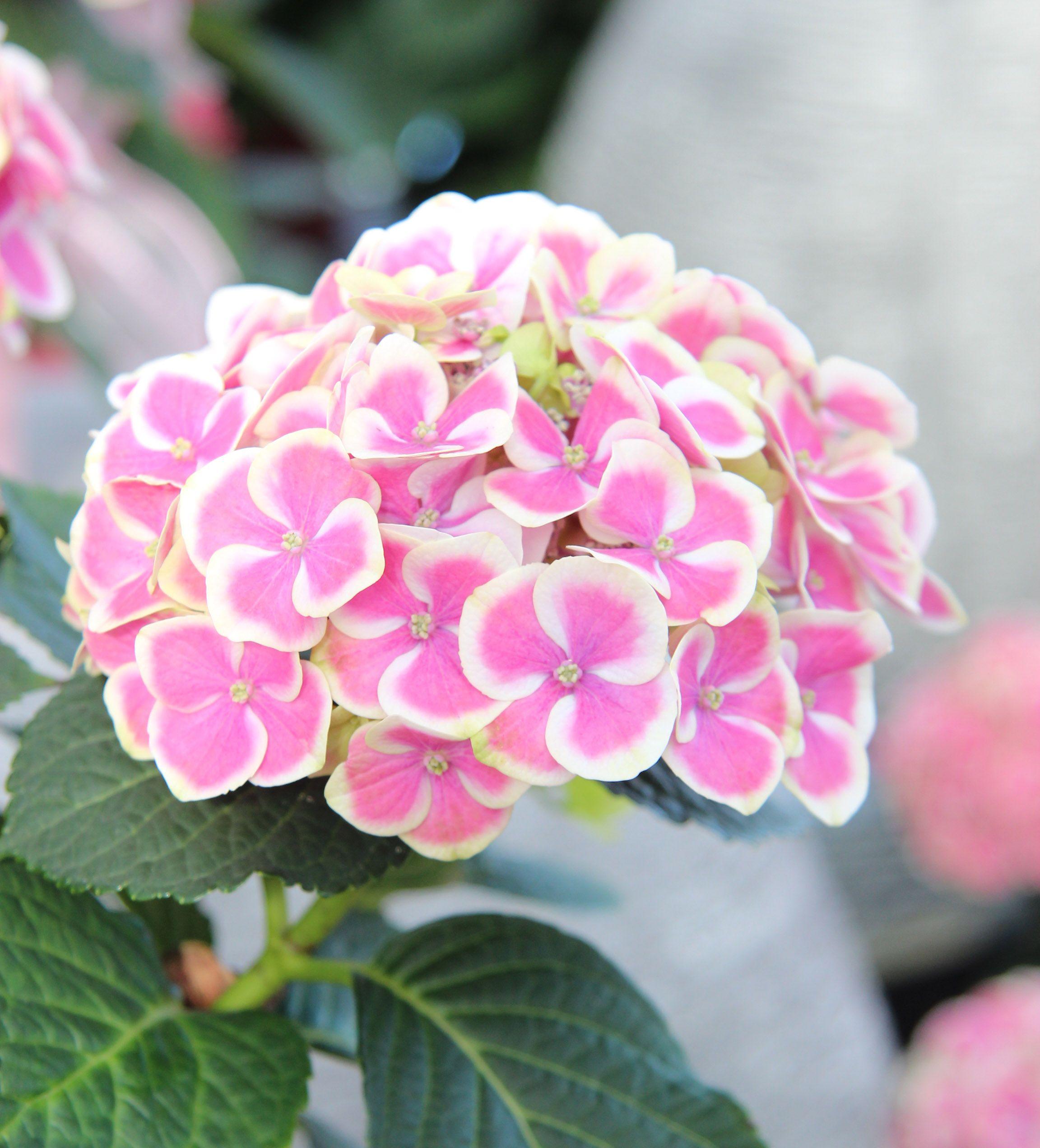 Hydrangea Plant nursery, Growing herbs indoors, Hydrangea