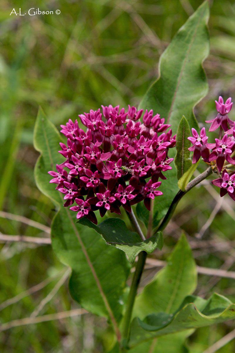 Native Milkweed In Ohio   Good Description Of Several Milkweed Plants    Monarch Butterflies Love These