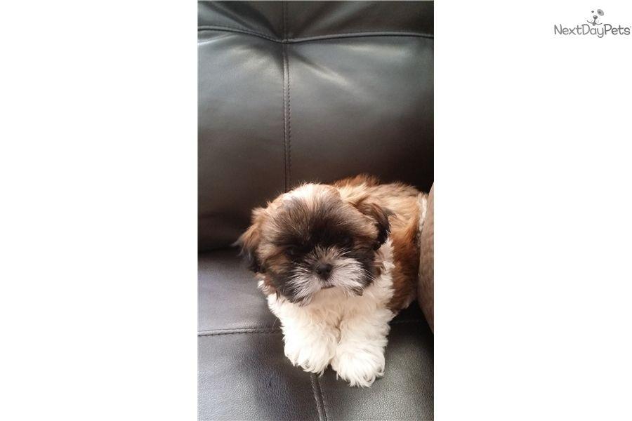 Beautiful Tri Color Female Shih Tzu Puppy Shih Tzu Shih Tzu For Sale