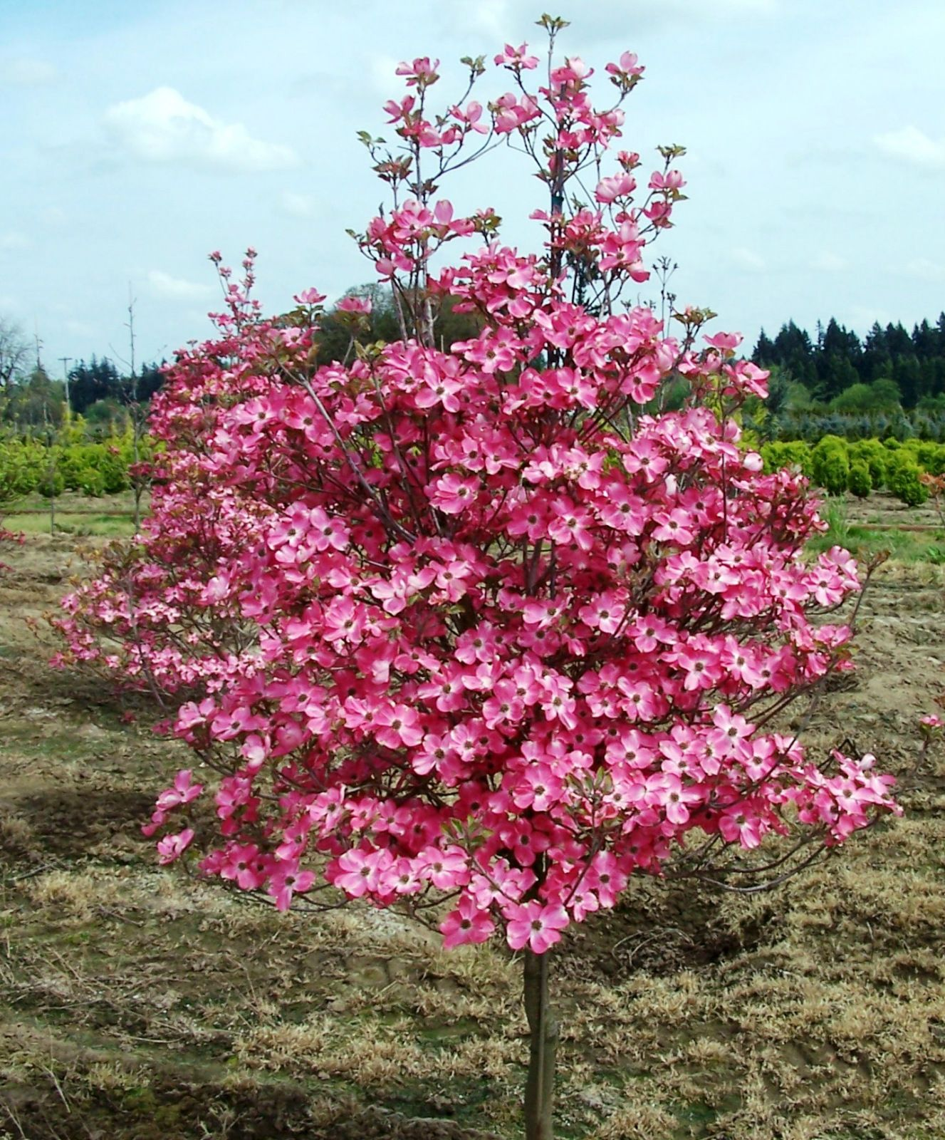 Red Dogwood Tree Garden Pinterest Deciduous Trees Gardens And