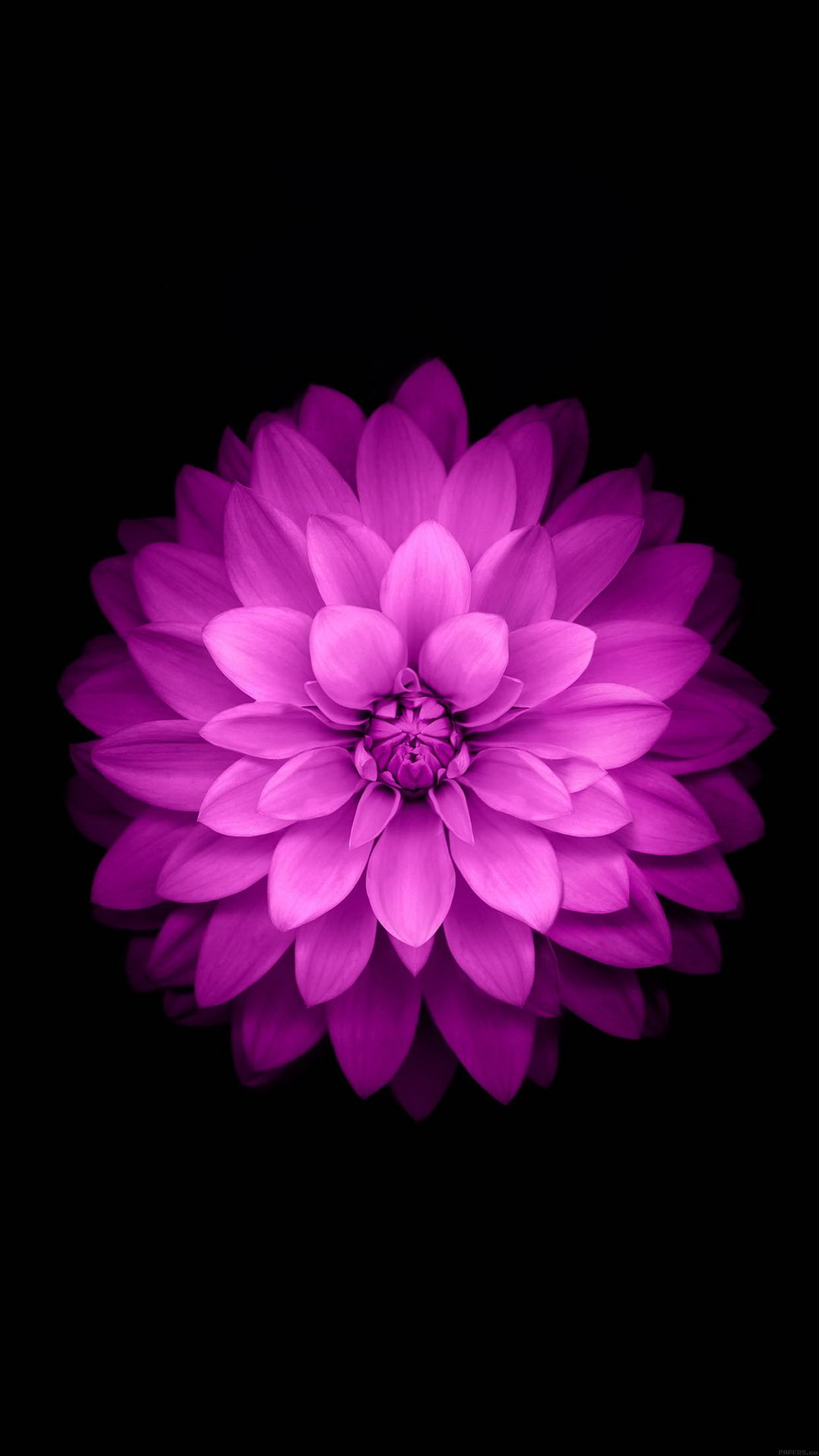 Purple Lotus Black Background Retina Wallpaper Ios Wallpapers