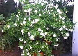 Gardenia Miami Supreme Front And Back Gardenia Plant Plants