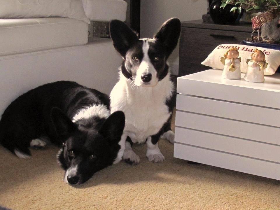 Black And White Cardigan Corgis Corgi Cardigan Corgi