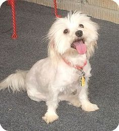 Pictures of Olivia a Maltese/Yorkie Yorkshire Terrier Mix