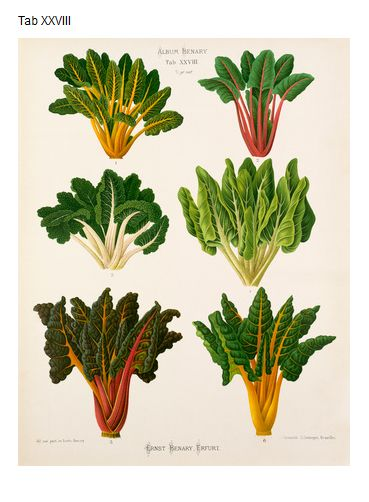 They Had Golden And Rainbow Chard A Long Long Time Ago Http Www Rhsprints Co Uk Botanical Drawings Botanical Prints Botanical Illustration