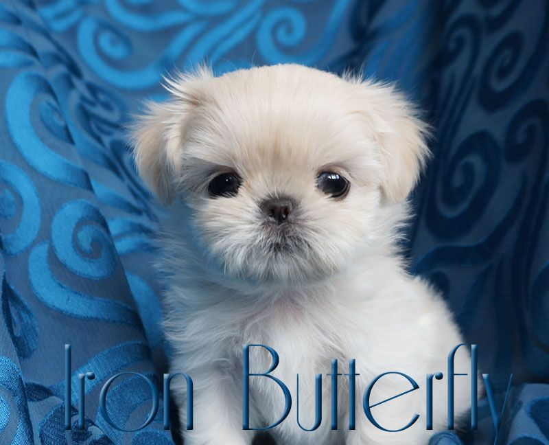 Quality Chinese Imperial Shih Tzu And Tiny Teacup Puppies For Sale Here Health Sweet Temperament And Teacup Puppies For Sale Imperial Shih Tzu Teacup Puppies
