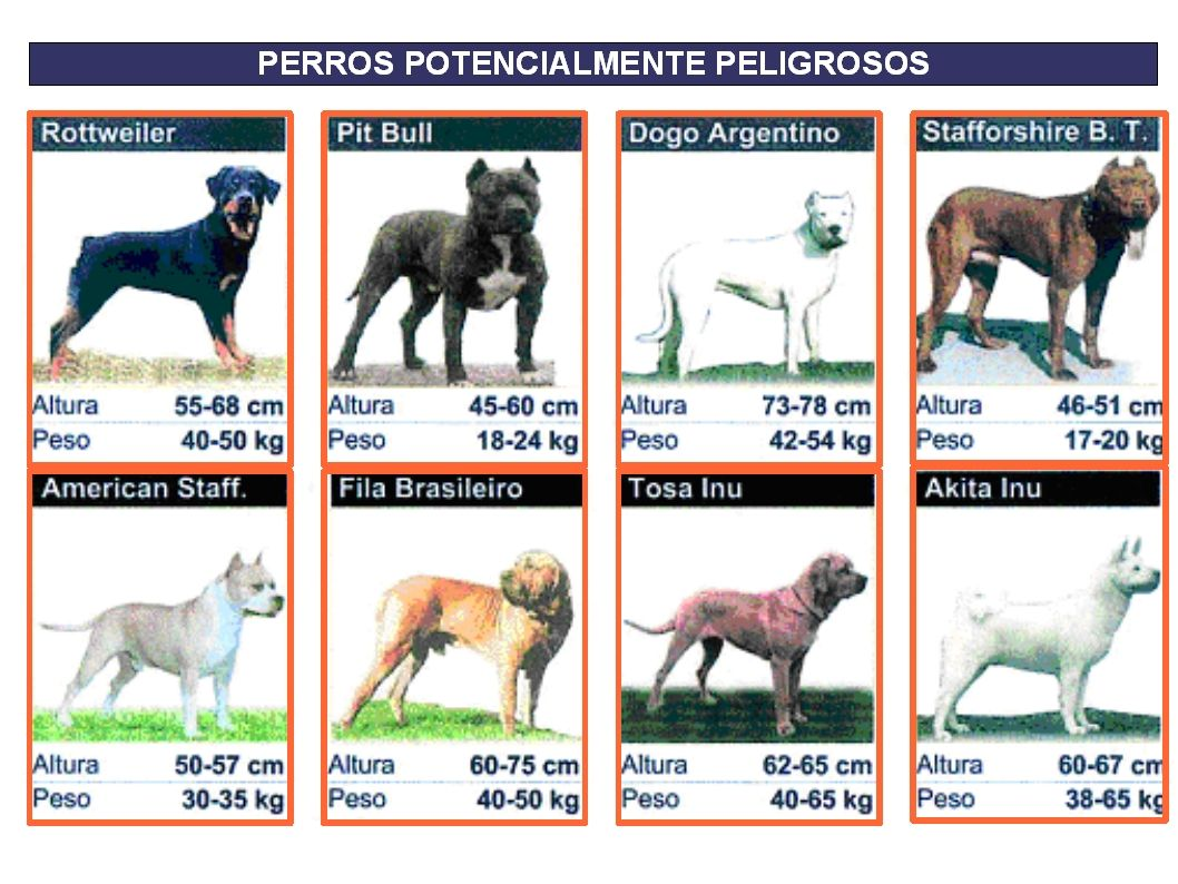 Dogo Argentino Vs Pitbull Dogo Argentino Vs Pitbull Picarena Image Match Dogo Argentino Dangerous Dogs Dogs Dog Signs