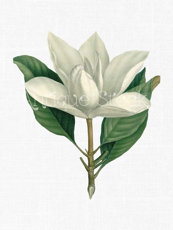 Flower Clip Art Southern Magnolia Vintage Art Download For Collages Scrapbooking Transfers Thank You Notes Gift Tags Home Decor Flower Clipart Downloadable Art Flower Clip