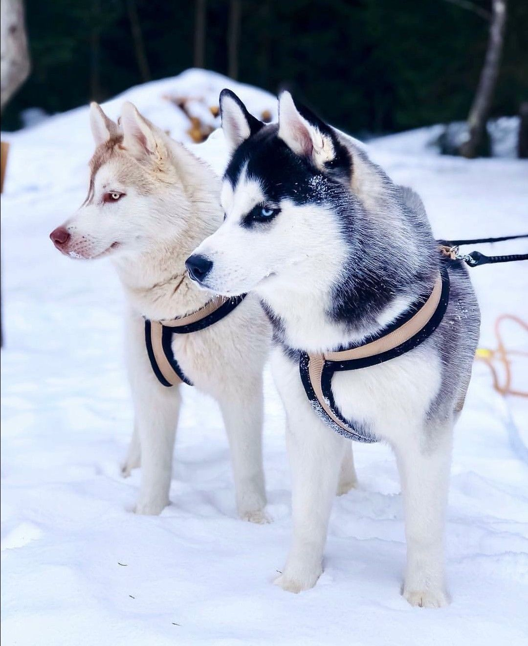 Pin By Husky Mom On Dogs And Cats Mostly Dogs Husky Puppy