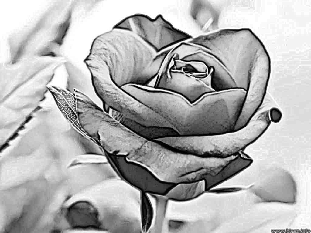 Pencil Drawings Charcoal Drawings And Art Galleries Rose Flowers