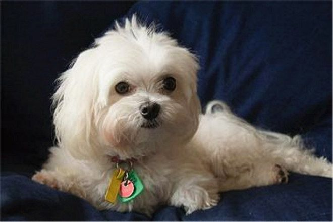 What Breed Of Dog Is A Maltese Facts And Pictures Dogs