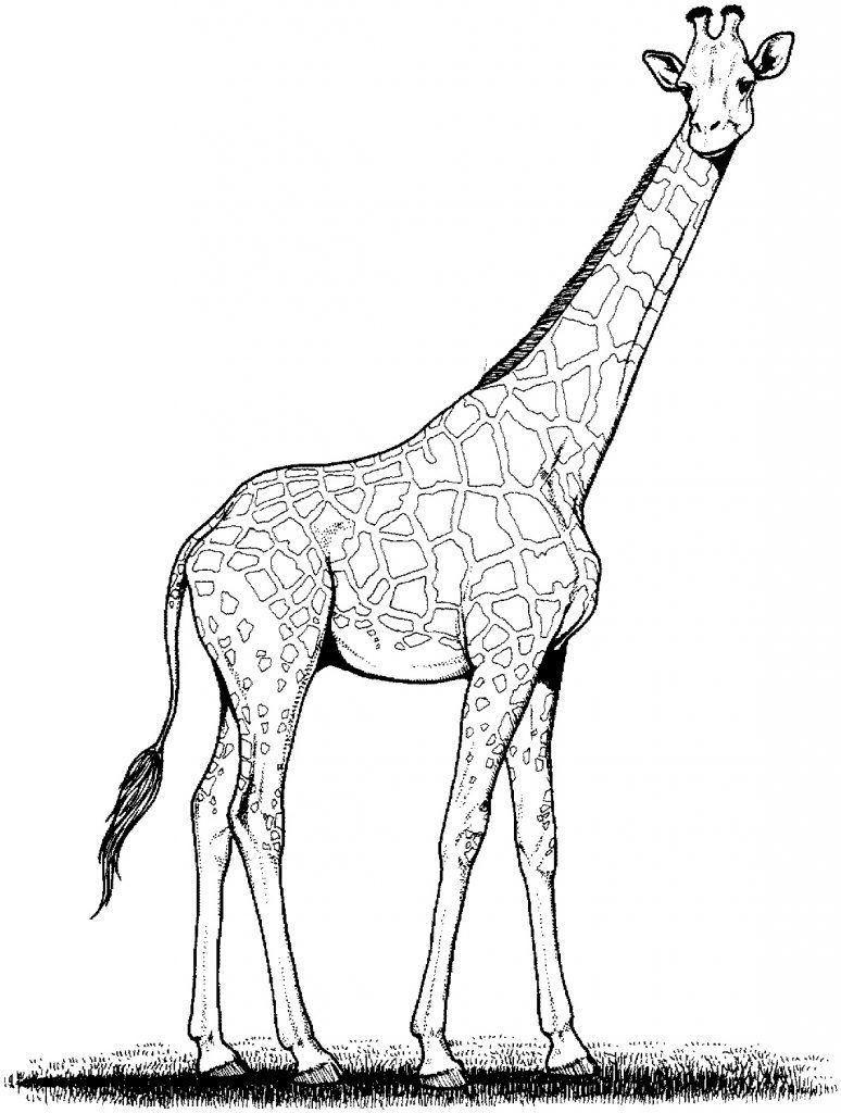 image regarding Printable Giraffe Pictures titled Totally free Printable Giraffe Coloring Web pages For Little ones Giraffe