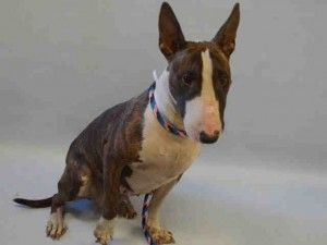 Manhattan Center COOKIE LYON – A1063385 FEMALE, BR BRINDLE / WHITE, BULL TERRIER, 3 yrs STRAY – STRAY WAIT, HOLD FOR ID Reason STRAY Intake condition EXAM REQ Intake Date 01/21/2016, From NY 10456, DueOut Date 01/24/2016, Urgent Pets on Death Row, Inc