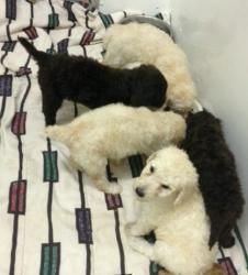 Adopt Standard puppies on | Dog stuff | Poodle rescue, Dogs