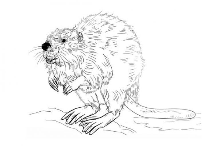 European Beaver Coloring Page Ausmalbilder Tiere Ausmalbilder