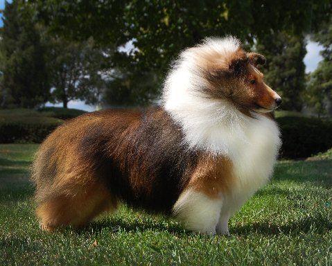 Best Shelties Around Wonderful Breeder With Images Sheep Dog