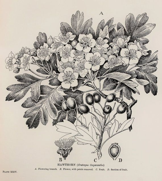Vintage Botanical Print By C. F. Newall Hawthorn May (leaves Flowers And Berries) Monochrome ...