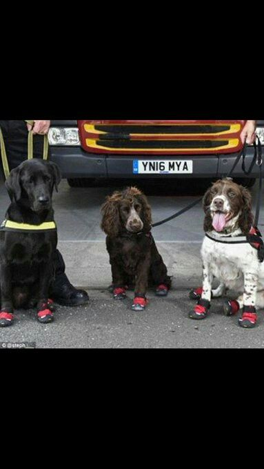Amazing dogs, who searched the Grenfell Tower (after the 27 story fire june2017), with their fire protective boots on (via Tower Hamlet MPS)
