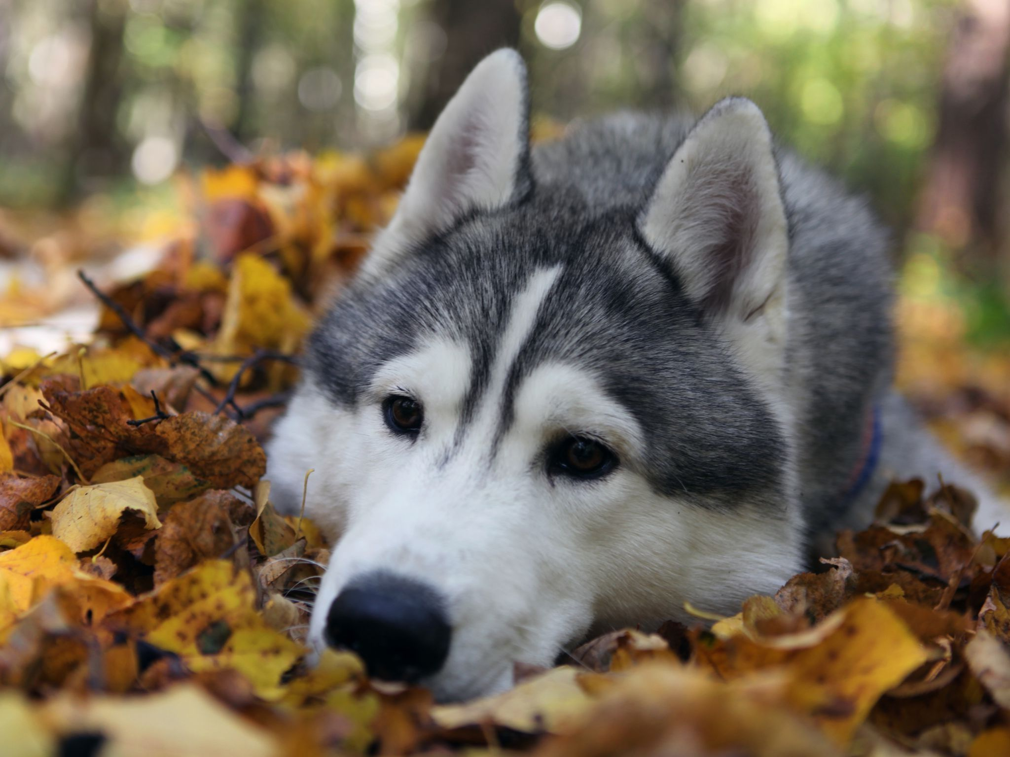 Siberian Husky Puppies Wallpaper Hd Baby Siberian Husky Autumn
