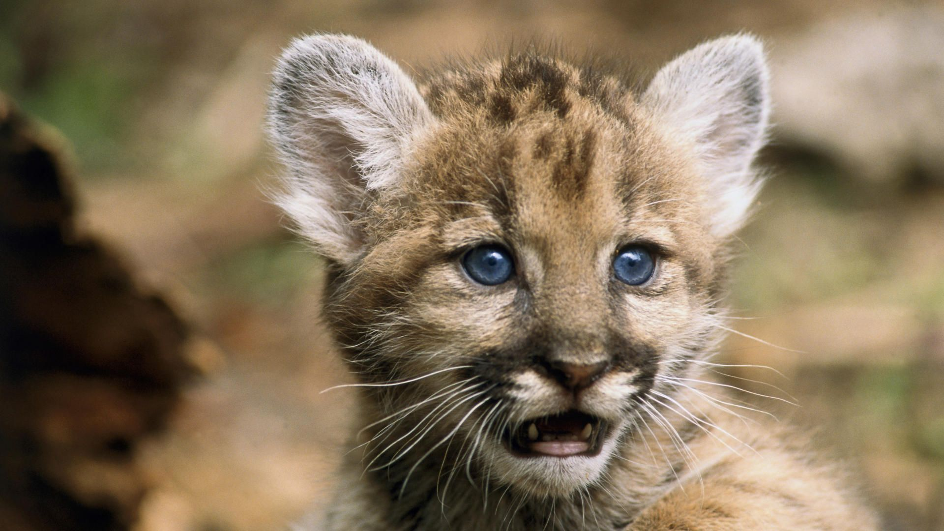 animal panthers cubs - photo #14