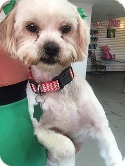 Pictures Of Fluffy A Shih Tzu Lhasa Apso Mix For Adoption In