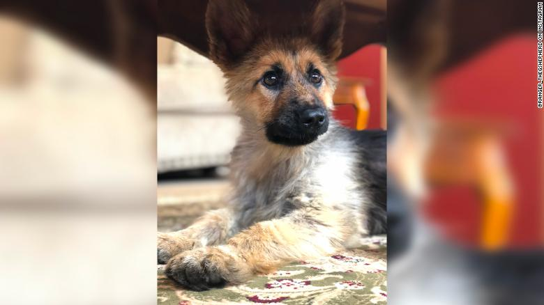 This German Shepherd Who Will Look Like A Puppy Forever Is The Best Thing On Instagram German Shepherd Dog Friends Puppies